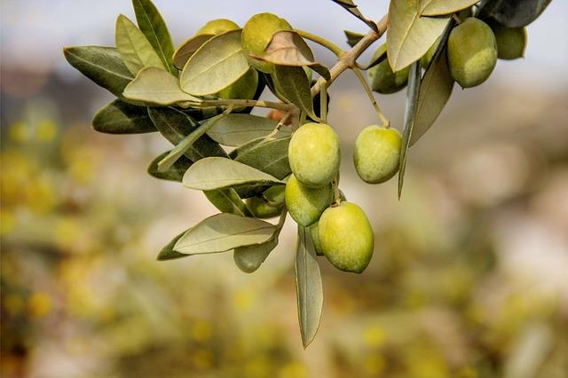 zelené olivy v růstu